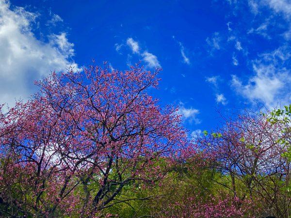 桜の季節到来&やんばるアートフェスティバル♪