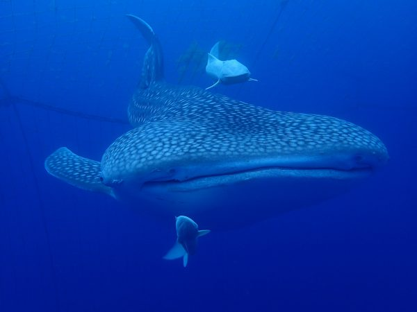 【期間限定】ジンベエザメと一緒に泳ぐ新アクティビティ スタート!